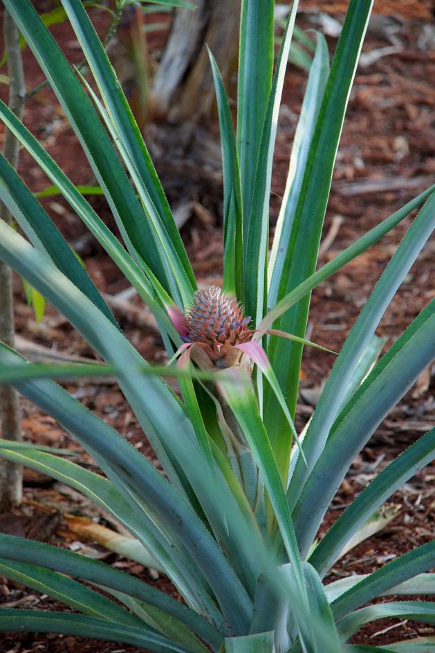 hema_cuba_baracoa_ananas