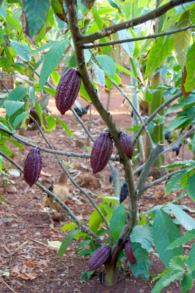 hema_cuba_baracoa_finca_cacao_cocoa