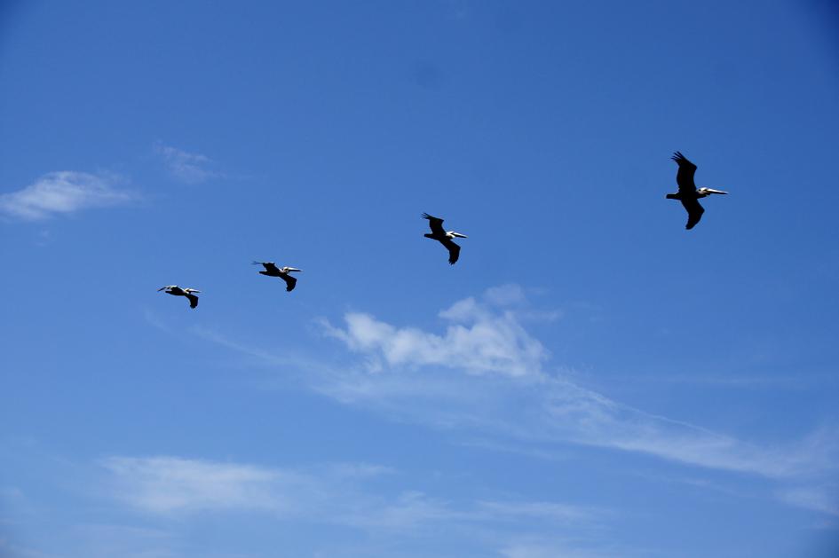 hema_florida_key_west_birds