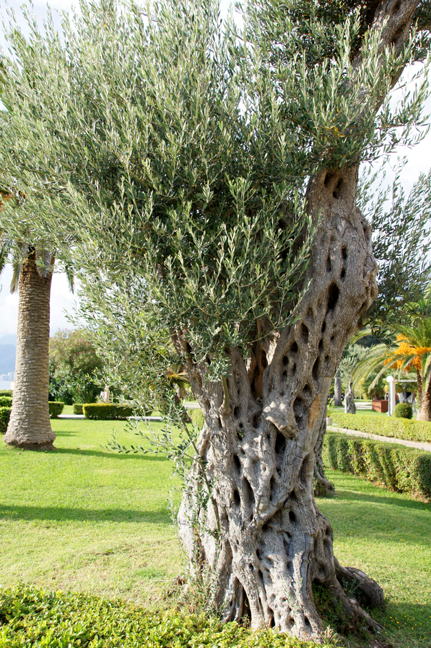 Hema_Montenegro_Sveti_Stefan_tree_Adriatic_Coast_Blog_Voyage_Travel13