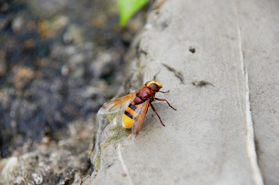 hema_montenegro_kotor_insect