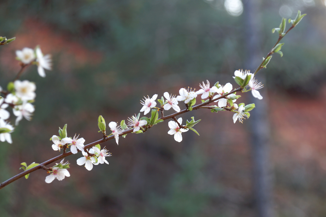 Rustrel_colorado_provencal_fleurs_branche