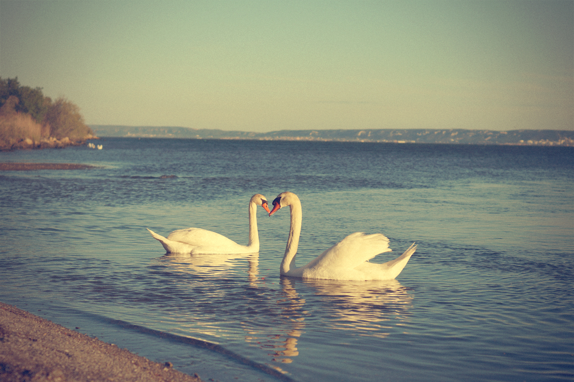 Hema_pose_ses_valises_la_petite_camargue_cygnes_couple_coeur