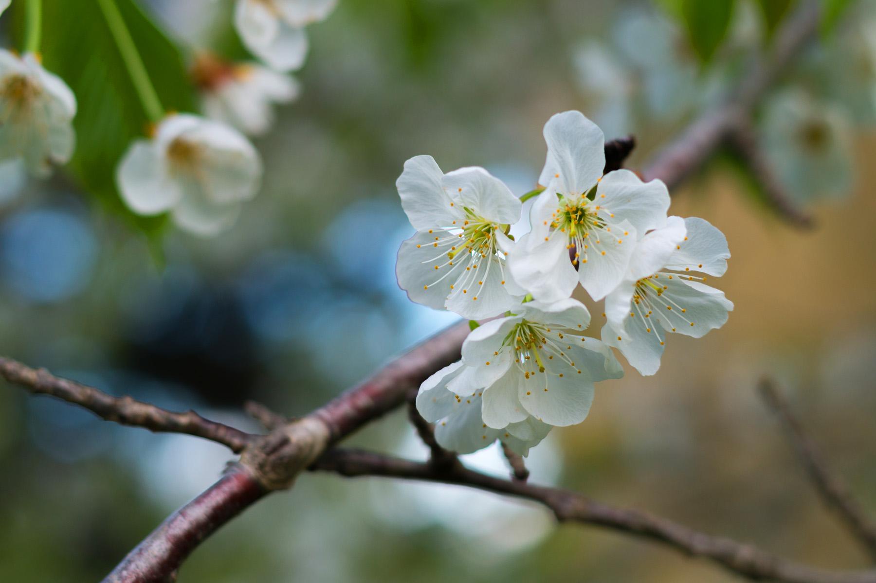 Hema_pose_ses_valises_sakura_fleurs_cerisier_13