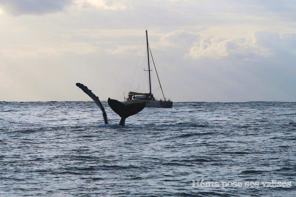 Une baleine frappe de la nageoire et saute dans l'eau à La Réunion