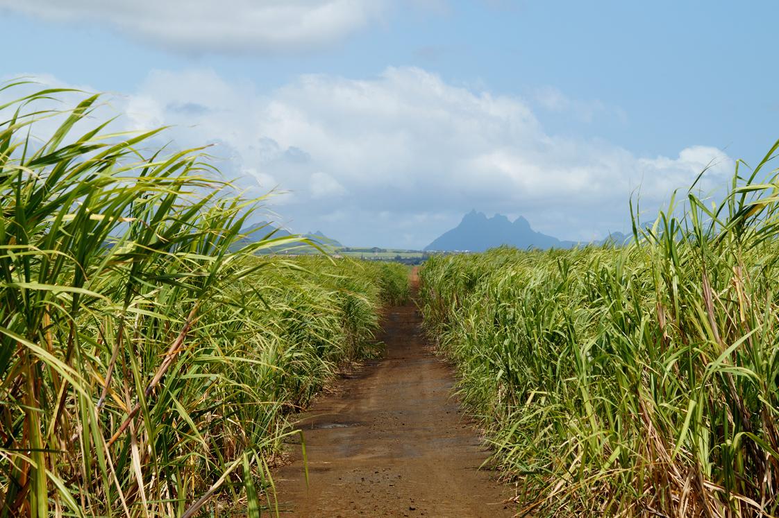 Allée dans un champ de cannes à sucre à l'Ile Maurice
