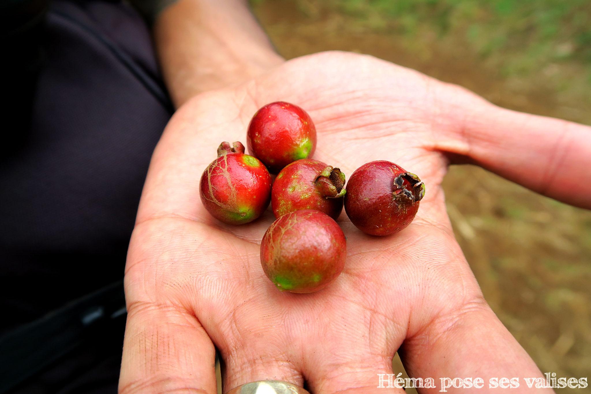 Goyaviers trouvés dans la forêt pendant la randonnée dans les makes à La Réunion