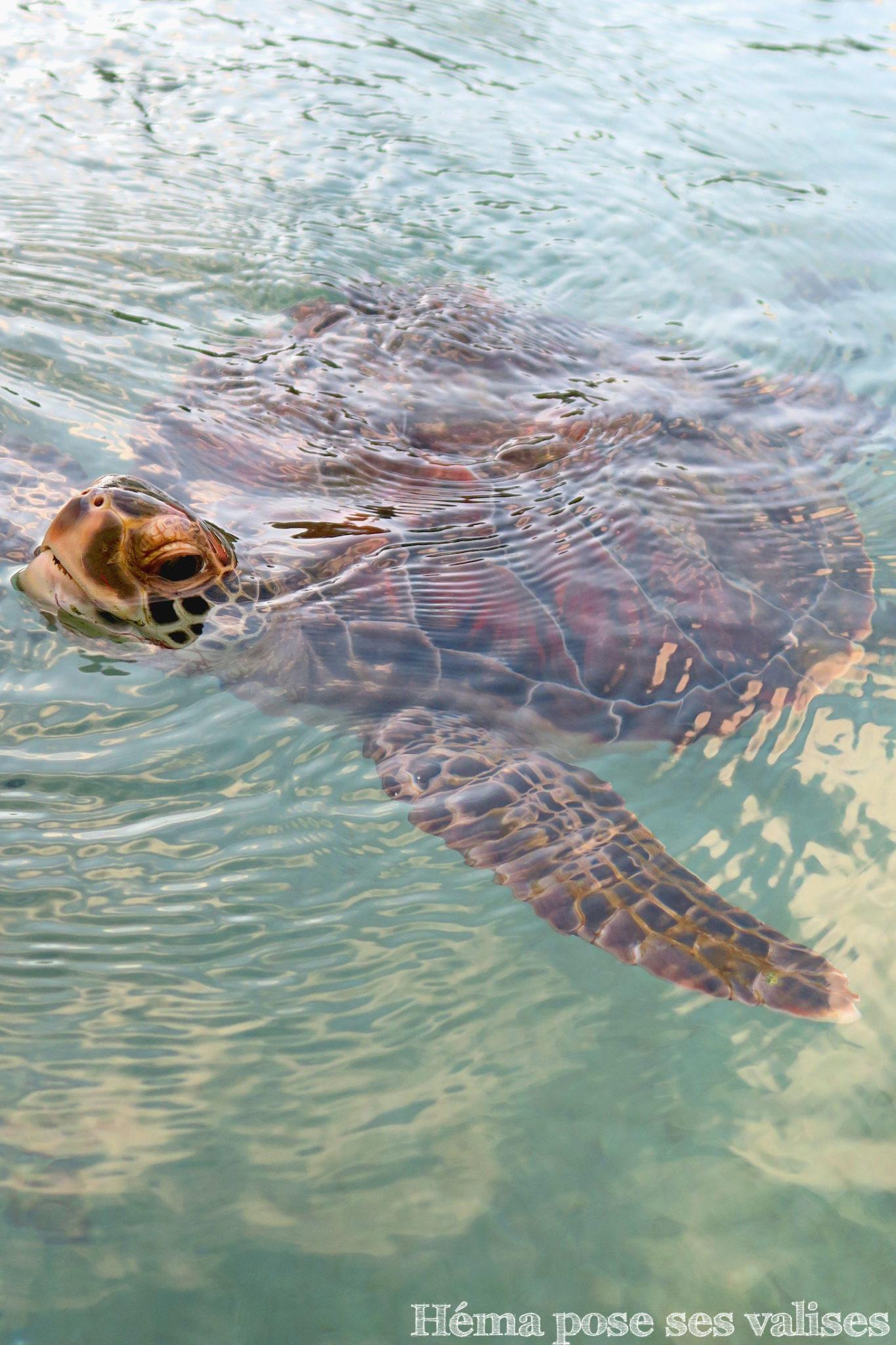 Tortue nageant dans l'un des bassins de Kélonia à La Réunion
