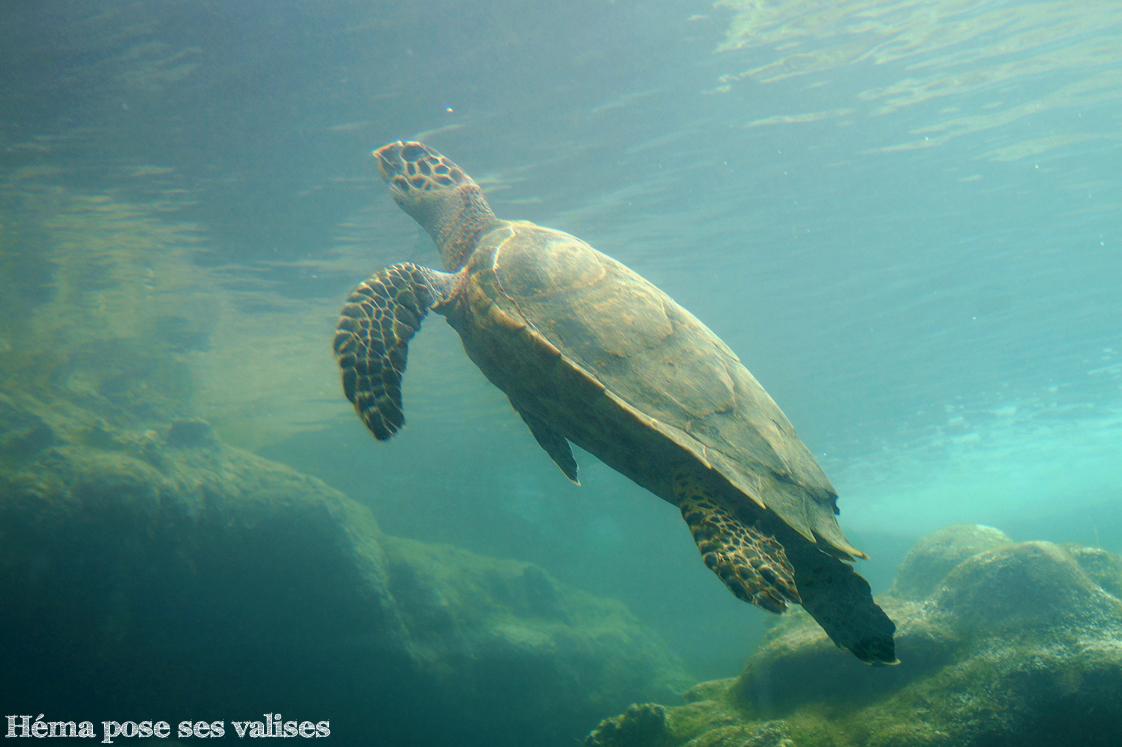 Vue d'une tortue marine depuis l'aquarium d'un bassin de Kélonia