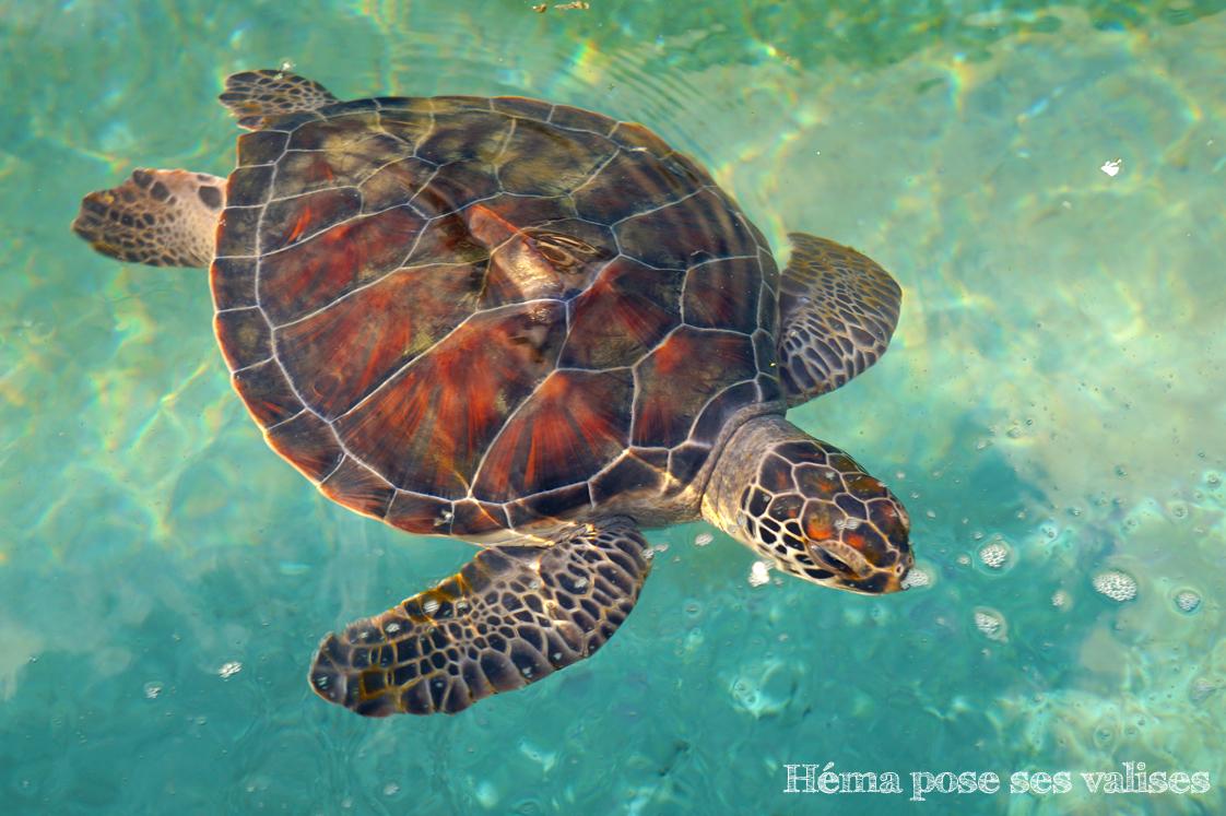 Vue du dessus d'une tortue de Kélonia à La Réunion