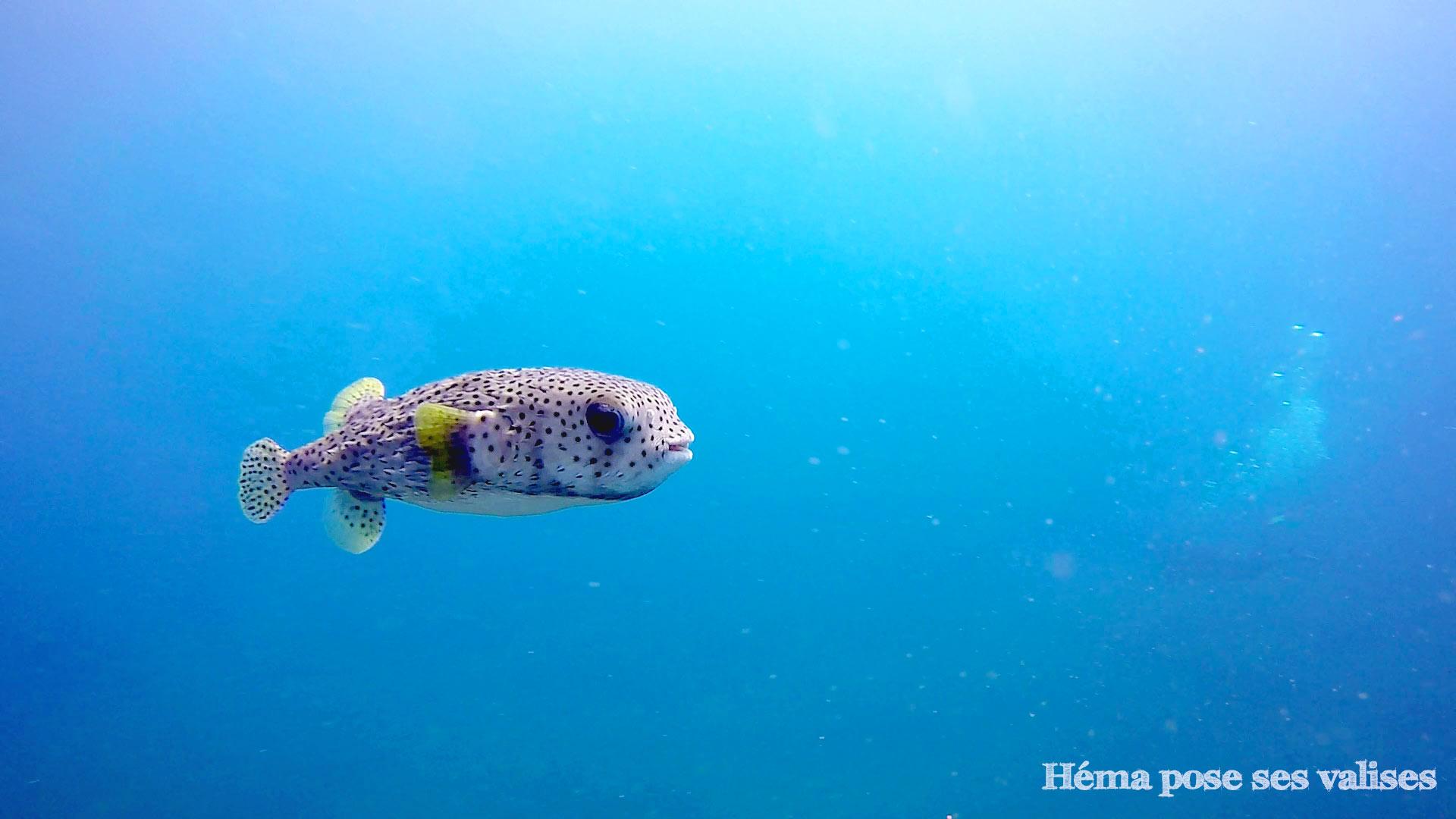 Rencontre avec un poisson ballon lors d'une plongée à La Réunion