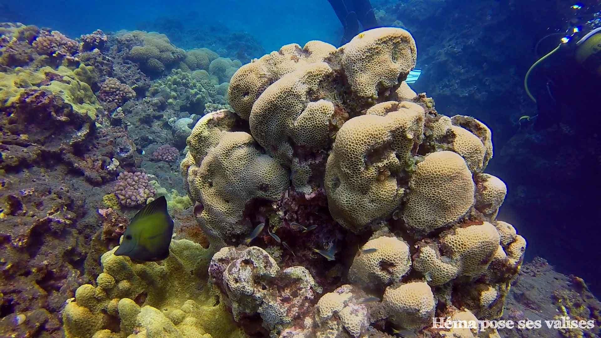 Poissons et coraux de l'île de La Réunion